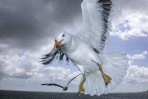 Seagull in Flight #1