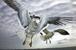 Sea Gull in Flight #2