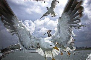 Sea Gull in Flight #3