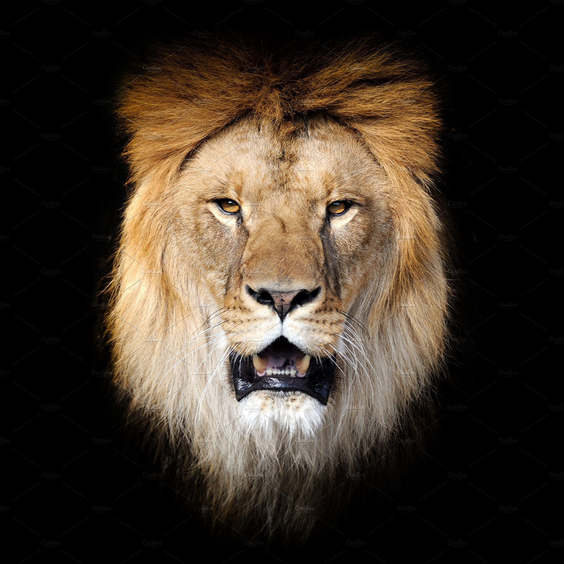 Lion On Dark Background Stock Photo Containing Lion And Animal High Quality Animal Stock Photos Creative Market