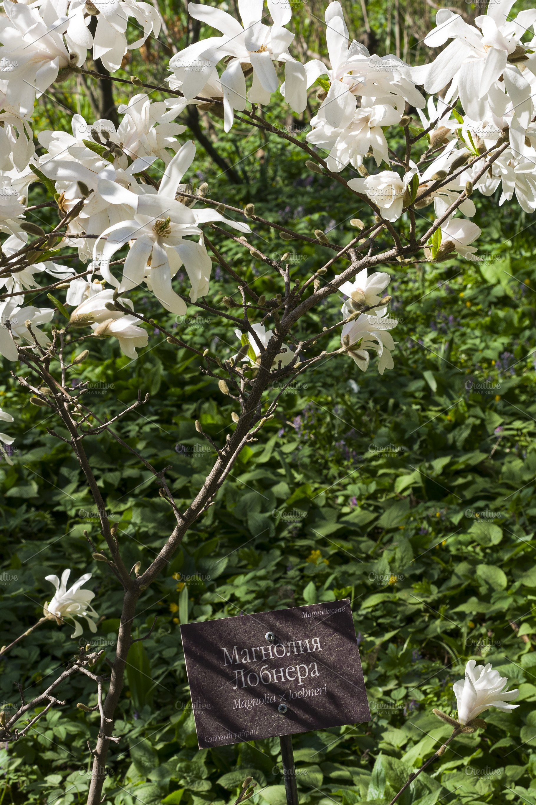 Blooming Magnolia Loebneri High Quality Nature Stock Photos