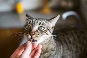 Tabby cat eating out of the hand