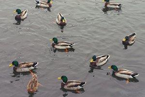 ducks take a swim