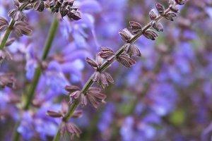 Lavender Focus