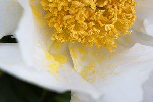 White flower, Yellow Pollen