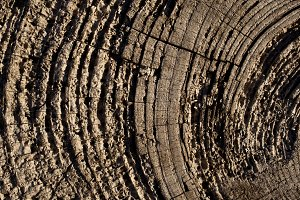 Tree Rings, Olympic Peninsula