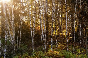 Grove of Birch Trees at Sumset