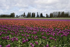 Purple, Red and PInk Tulip Field