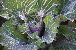 Cabbage leaves with water drops