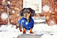 Dachshund & snowflakes