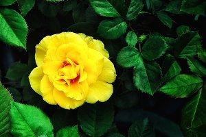 Yellow Chinese rose