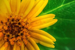 Daisy and green leaf