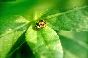 Ladybug siting on leaves