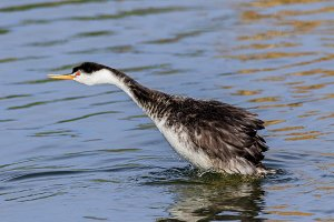 Clark's Grebe shaking water off