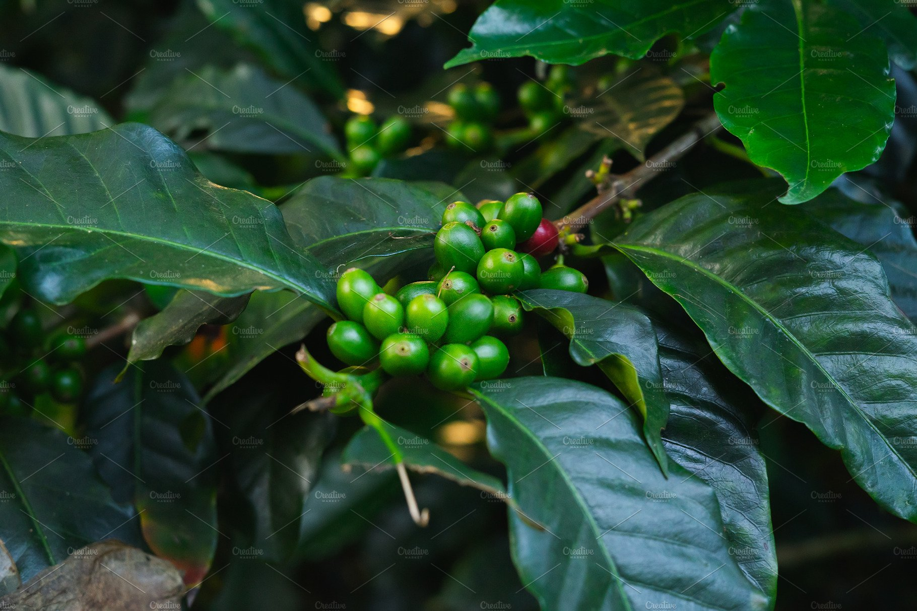 Coffee Plant With Green Fruits High Quality Nature Stock Photos