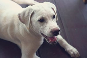 White Thai-Labrador puppy