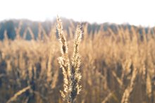 Spikelets_2