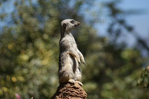 Meerkat Pondering Life