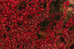 Red leaves background in autumn