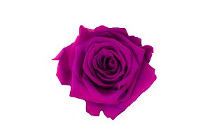 Isolate purple rose