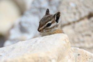 Chipmunk Peek a boo