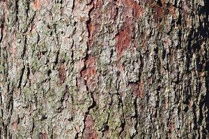 Spruce bark background