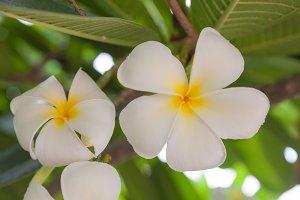 White flower in full bloom