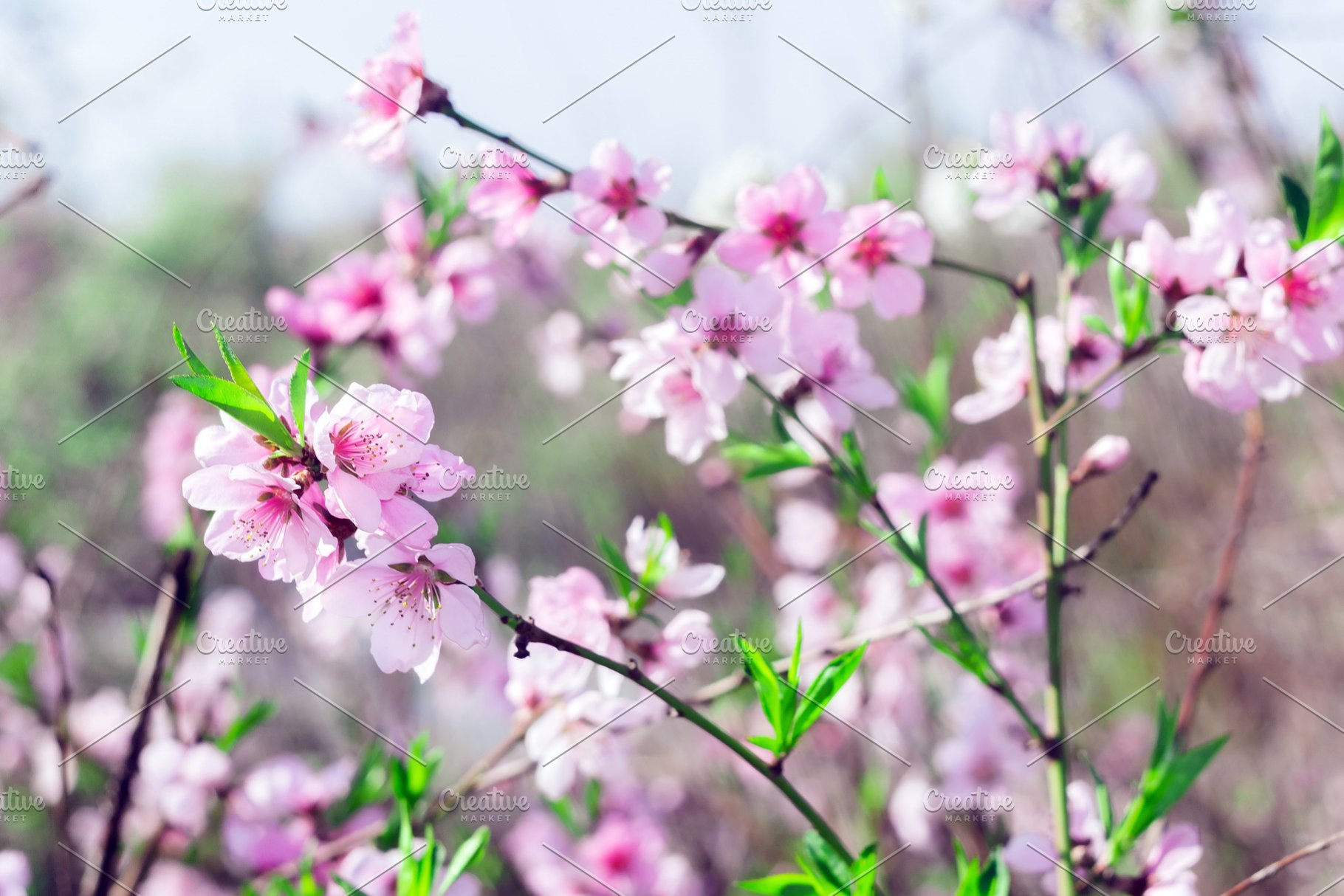 Branches With Beautiful Pink Flowers High Quality Nature Stock