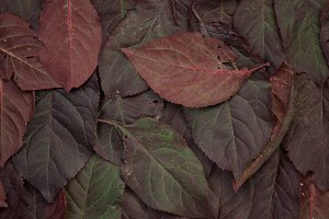 Claret leafs