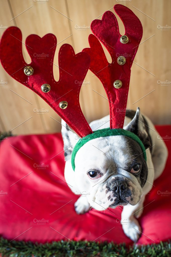 Dog_Christmas-5.jpg - Animals