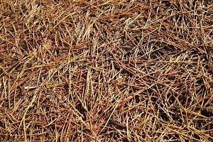 Fallen Pine Needles - Texture