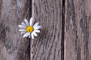 Oxe-eye Daisy on Weathered Wood