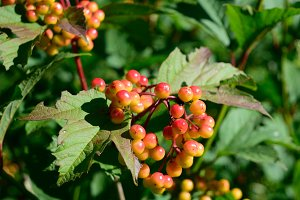 Highbush Cranberry Fruit