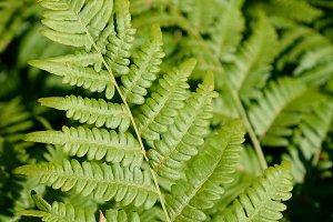Bracken Fern Leaf Blade