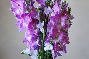 Purple gladiolus