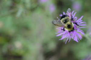 Bumble Bee on Canada Thistle Flower