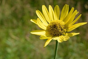Wild Sunflower (Helianthus) Detail