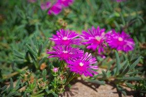 Lampranthus (Ice Plant) flowers
