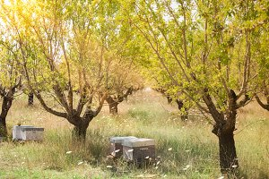 Beehives in the fruits tree garden