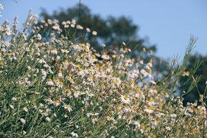 white little daisies