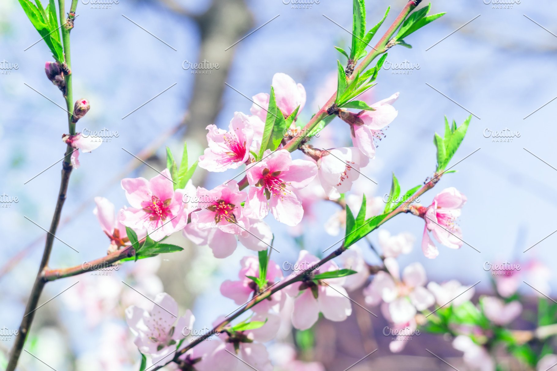 Pink Flowers Blooming Peach Tree At High Quality Nature Stock