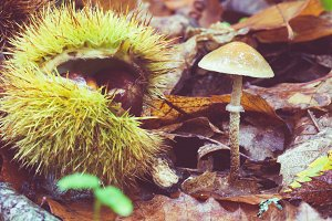 Chestnut forest mushrooms