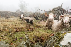 sheep resting in the fog