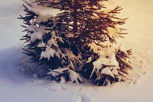 Fir tree. Animal tracks in the snow.
