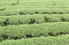 Tea tree farm