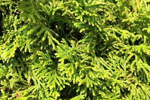 Green Pine Needles - Texture