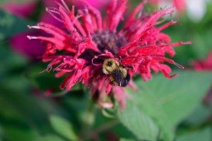 Honey Bee on Bee Balm