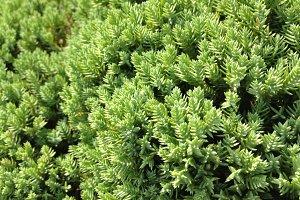 Green Dwarf Pine - Texture