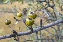 The fruits of wild pear. Crimea.