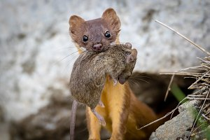 Long Tailed Weasel with Mouse